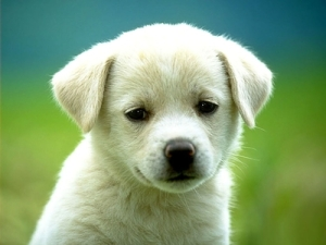 Animals_Dog_upset_dog_puppy_Pet_unhappy_lonely_photography_animal_128795_detail_thumb